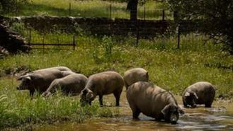 El cerdo ibérico abandonado en un parque irá a un santuario animal
