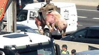 Sobreviven 34 cerdos de los 170 que transportaba el camión volcado