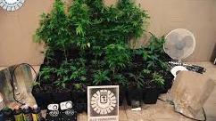 Detenido por ocultar una plantación de marihuana en su trastero en Fuencarral