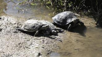 Piden no soltar galápagos de florida en el Manzanares, son especie invasiva