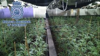 Detenidos seis chinos que cultibaban 1.600 planas de marihuana en una nave