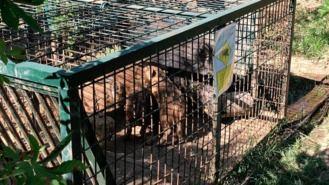 El Ayuntamiento ha capturado 84 jabalíes desde que se activó el plan especial en abril