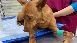 Investigado por abandonar a su perra, localizada con heridas y perdigones