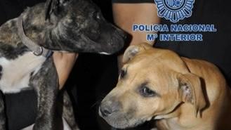 Cae una red de peleas ilegales de perros en Madrid, Alicante y Murcia
