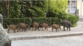 Izquierdo; Los municipios están 'obligados' a controlar la población de jabalíes