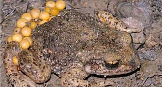 Una charca artificial favorece la reproducción de 5 especies de anfibios