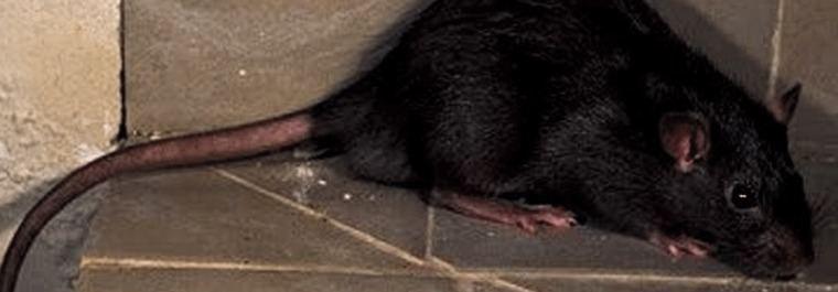 La rata negra se instala en las calles de Madrid